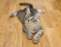 Katje die op een vloer liggen Stock Afbeelding