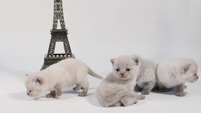 Katje die rond dichtbijgelegen Reis geïsoleerde Eiffel lopen, stock video