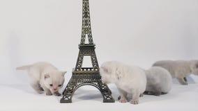 Katje die rond dichtbijgelegen Reis geïsoleerde Eiffel lopen, stock videobeelden