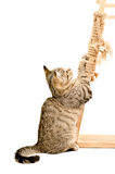 Katje die zijn klauwen scherpen royalty-vrije stock fotografie