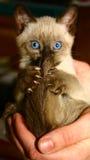 Katje in een menselijke palm Stock Foto's