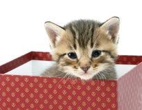Katje in een rode doos Royalty-vrije Stock Afbeeldingen