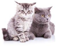 Katje en volwassen Engelse katten Stock Foto's