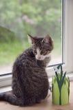 Katje in het Venster Royalty-vrije Stock Afbeelding