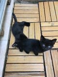Katje het zwarte spelen Stock Afbeelding