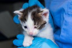Katje met bindvliesontsteking in de handen van een dierenarts stock afbeeldingen