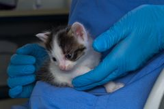 Katje met bindvliesontsteking in de handen van een dierenarts royalty-vrije stock fotografie