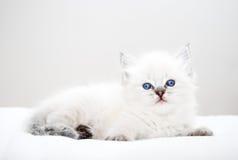 Katje met blauwe ogen Stock Foto's