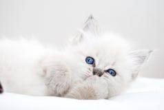 Katje met blauwe ogen Stock Afbeelding