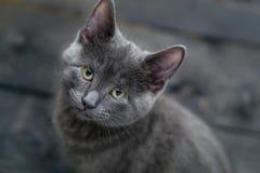Katje met zilveren grijs bont Stock Foto's