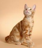 Katje op een beige achtergrond (ras - kurilian loodje Stock Afbeelding