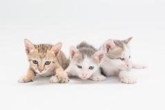Katje op een witte achtergrond Stock Foto's