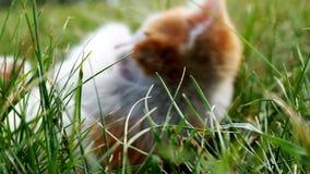 Katje op groen gras stock video