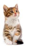 Katje op wit Stock Afbeelding