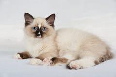 Katje op witte achtergrond Royalty-vrije Stock Foto