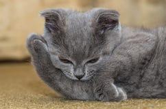 Katje rusten het met hangende oren Stock Foto's