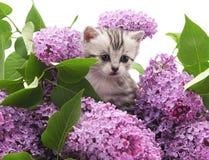 Katje in sering Stock Afbeeldingen