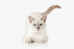 Katje Thaise kat op witte achtergrond Stock Fotografie