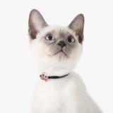 Katje Thaise kat op witte achtergrond Stock Afbeeldingen
