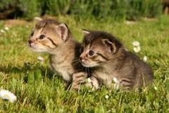 Katje twee in gras Royalty-vrije Stock Foto's