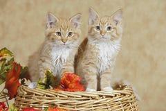 Katje twee op mand Stock Afbeelding