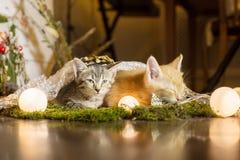 Katje twee Rode katjesslaap, kleurrijke blikken weg Royalty-vrije Stock Fotografie