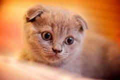 Katje van Cuty het Britse vouwen Royalty-vrije Stock Afbeelding
