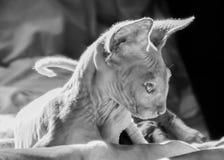 Katje van een sfinx Royalty-vrije Stock Afbeelding