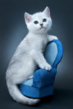 Katje van het Britse ras. Royalty-vrije Stock Afbeelding