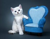 Katje van het Britse ras. Stock Foto