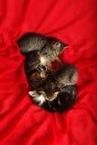 Katje vier op rood weefsel royalty-vrije stock fotografie