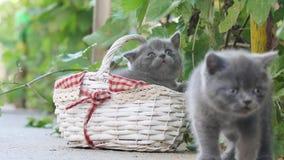 Katjes die in een mand uit in de werf spelen stock video