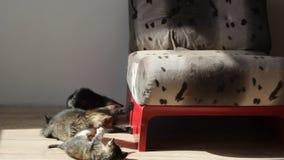 Katjes die en elkaar spelen bestrijden stock videobeelden