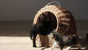 Katjes die en elkaar spelen bestrijden stock footage