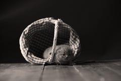 Katjes die in mand spelen royalty-vrije stock fotografie