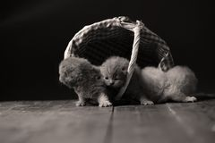 Katjes die in mand spelen royalty-vrije stock foto