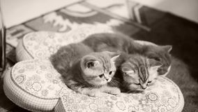 Katjes die op een hoofdkussen zitten stock footage