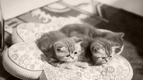 Katjes die op een hoofdkussen zitten stock video