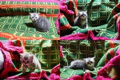 Katjes die op een traditioneel tapijt spelen, multicam Royalty-vrije Stock Foto