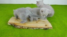 Katjes die ruw vlees eten stock videobeelden