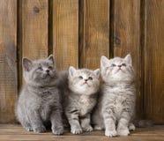 Katjes die van groeps de Britse shorthair omhoog eruit zien Stock Foto