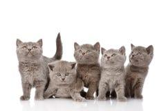 Katjes die van groeps de Britse shorthair omhoog eruit zien Geïsoleerde Stock Fotografie