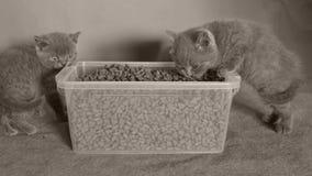 Katjes die voedsel voor huisdieren van de doos eten stock videobeelden
