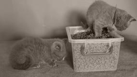 Katjes die voedsel voor huisdieren van de doos eten stock video