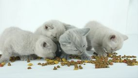 Katjes die voedsel voor huisdieren van de vloer eten stock footage