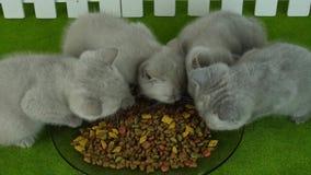 Katjes die voedsel voor huisdieren van een groene vloer eten stock footage