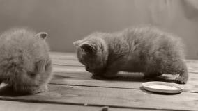 Katjes die voedsel voor huisdieren van houten vloer eten stock video