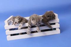 Katjes in een houten krat Stock Foto's