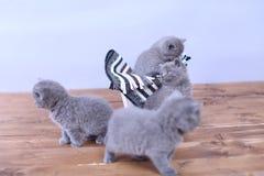 Katjes in een mand Stock Fotografie