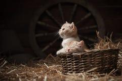 Katjes in een mand Stock Afbeeldingen